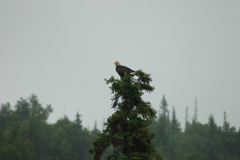 Eagle perched along Kenai River