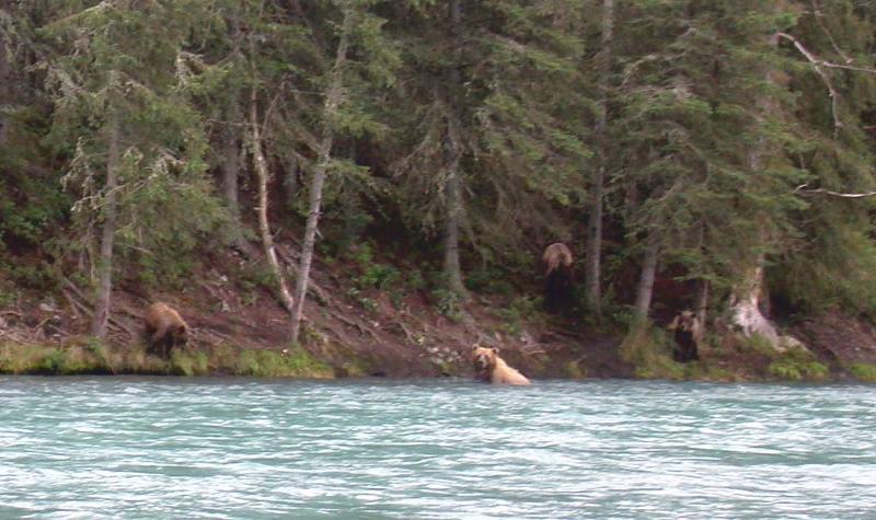 Bears along bank Kenai River during a guided drift trip