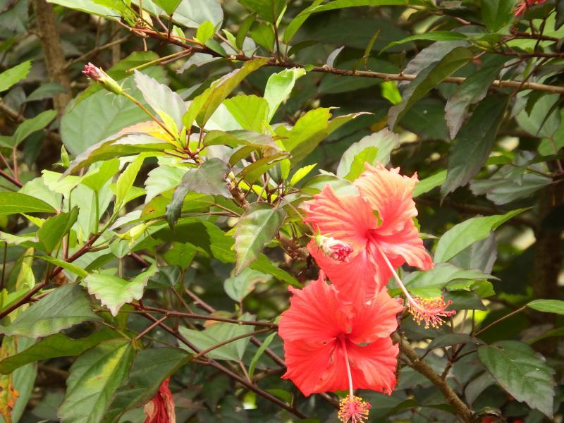 Hibiscus in the garden.
