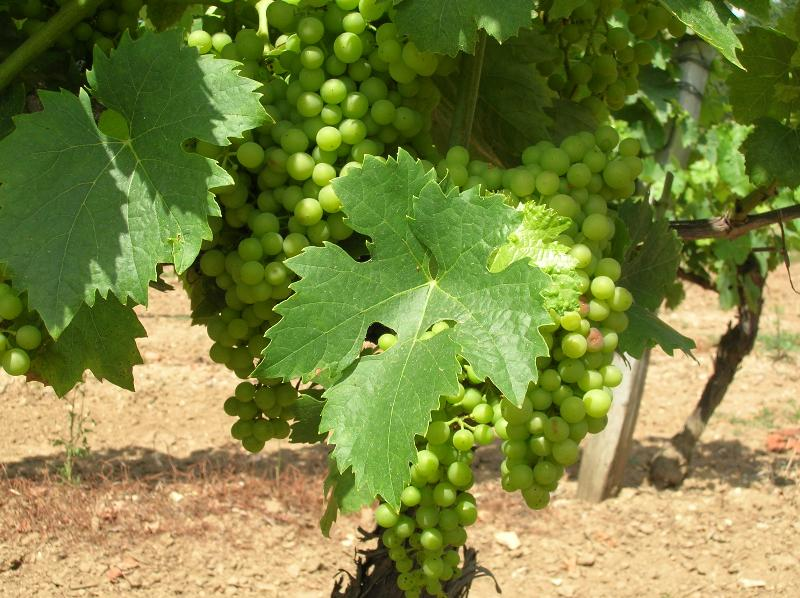 Walks among the vines are on the doorstep