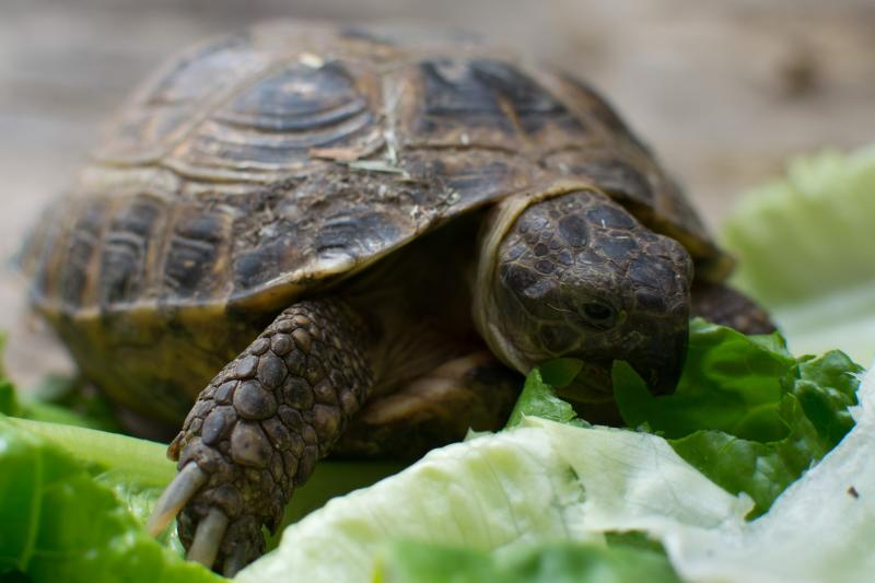Dylan the tortoise having breakfast