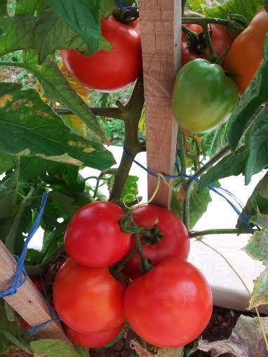 Pomodori e altri ortaggi biologici che cresce solo con la proprietà e solo per voi