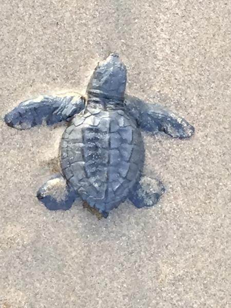 Leatherback sea turtles hatch daily at Playa las Tortugas.
