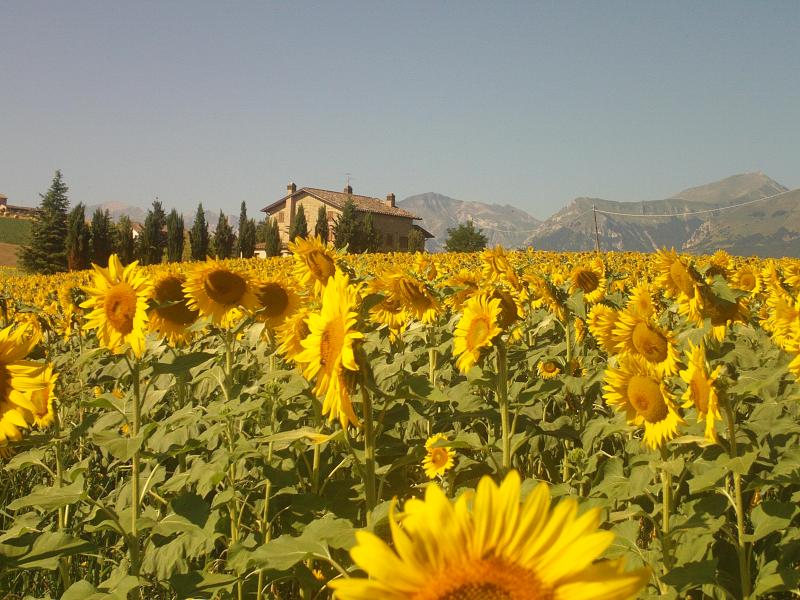summer with sunflowers and mountains