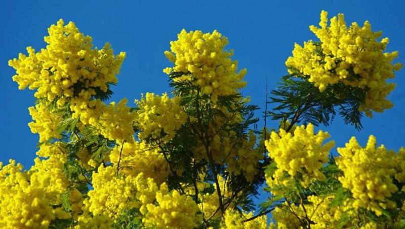 Mandelieu capitale du Mimosa