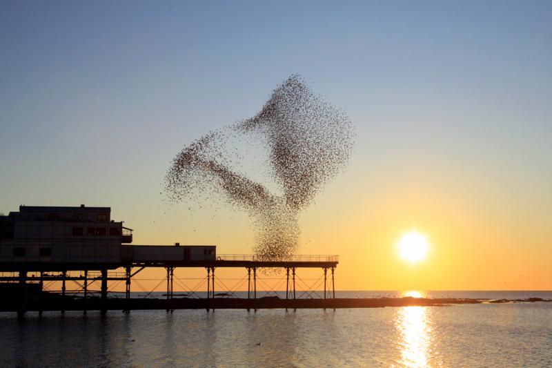 Starlings at Aberystwyth Pier