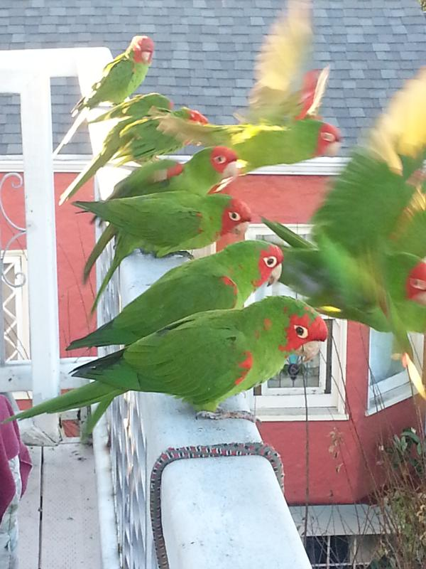 Visitation by Wild Parrots of Telegraph Hill every day at 3pm