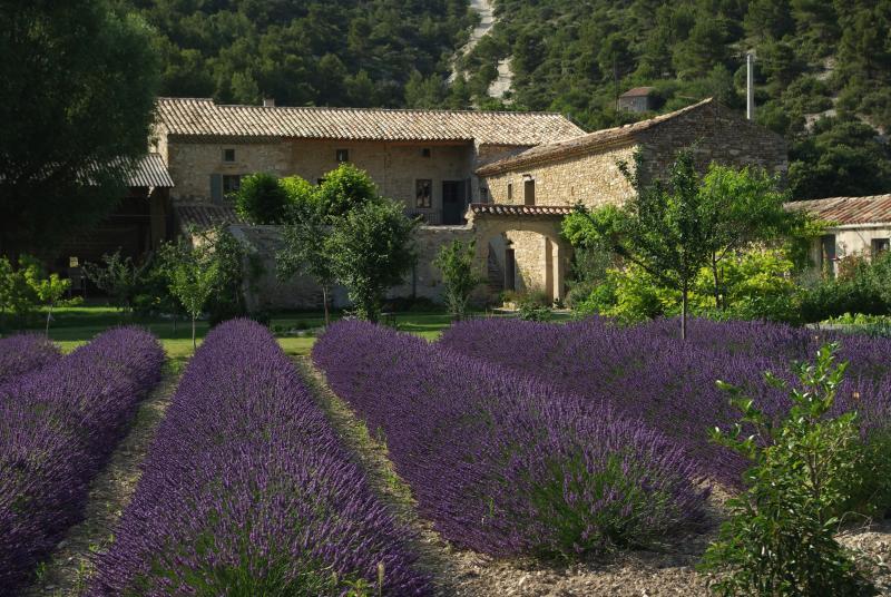 The lavender of Mas de la Fontaine