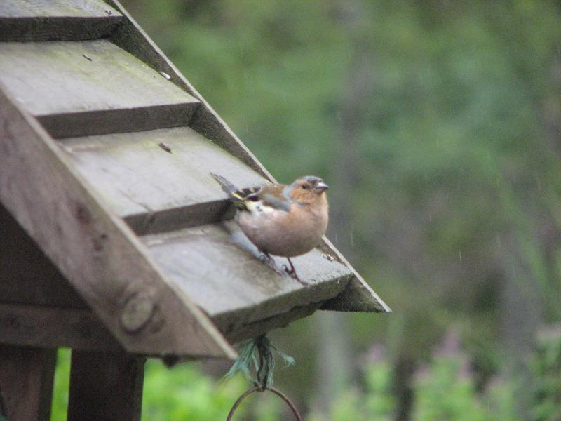 Birds and Pine Marten visit the bird table