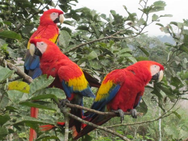 Some of the ubiquitous macaws that give The Birdhouse its name. The flock seems to grow by the day.