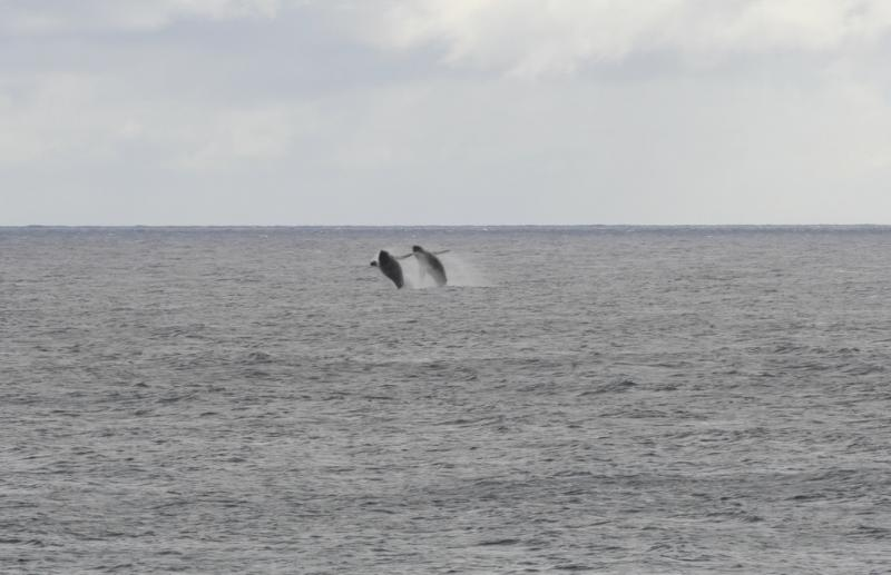 Two humpback whales frolicing in front of Poipu Shores in the winter.