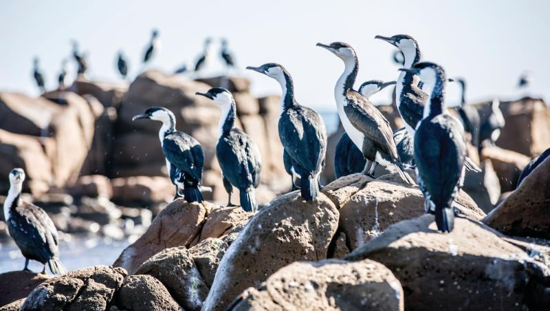 Cormorants love the rocky outcrops on nearby beaches. Tourism Australia.