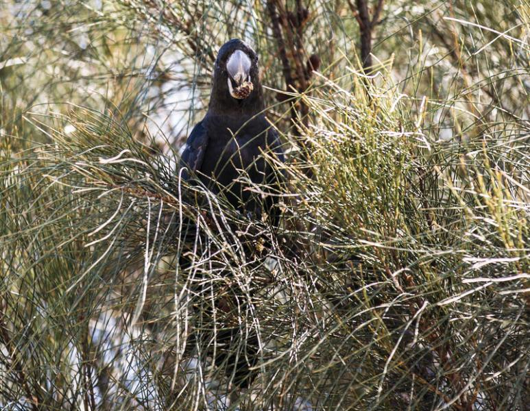 A rare Glossy Black-Cockatoo on Kangaroo Island.