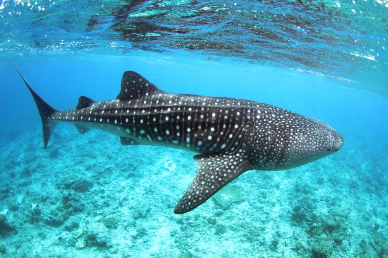 A whale shark seen during whale shark spotting