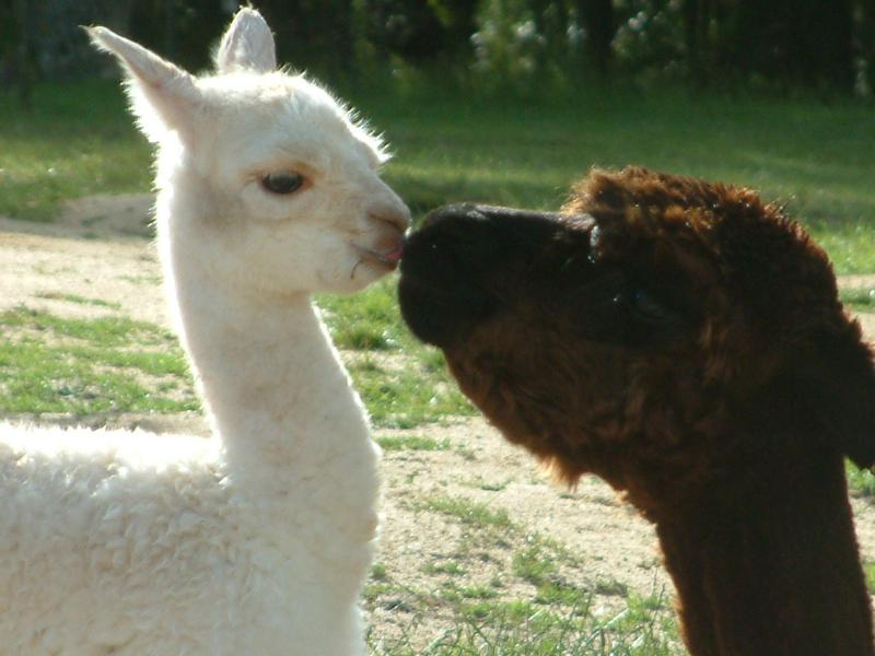 A mother and her cria (baby)