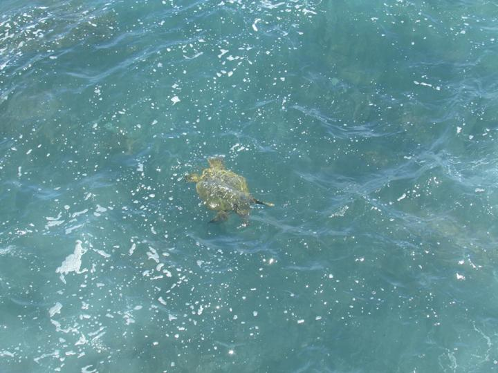 One of our giant sea turtles photographed from the lanai.  Can you tell it is all about the lanai?