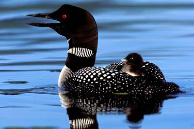 Listen to the serene loon song while sipping your morning coffee on the porch