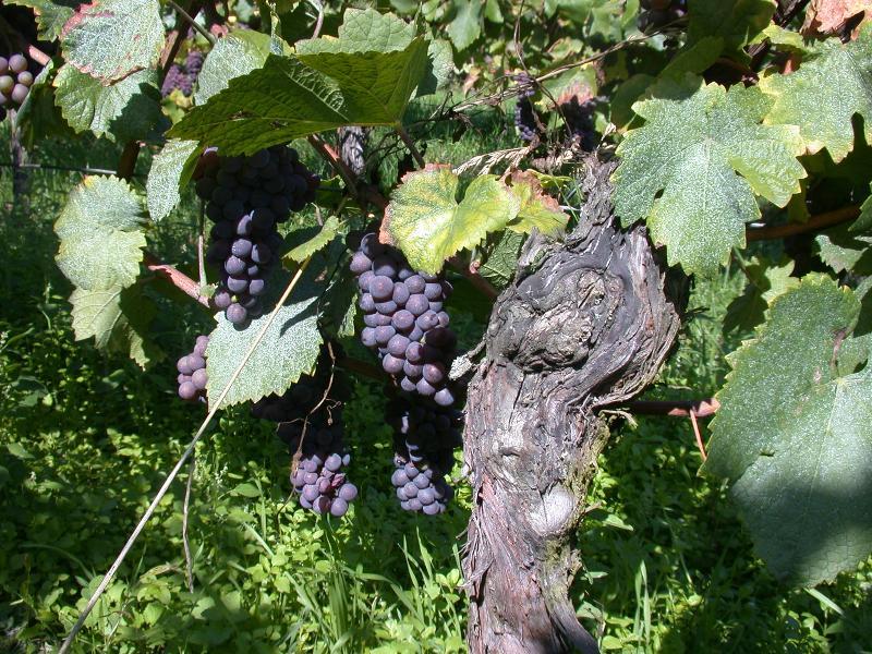 Alsatian grapes (pinot noir)