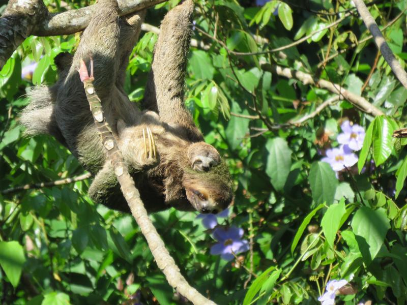 Tree Toed Sloth and baby.