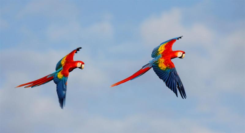 Macaws flying around the house