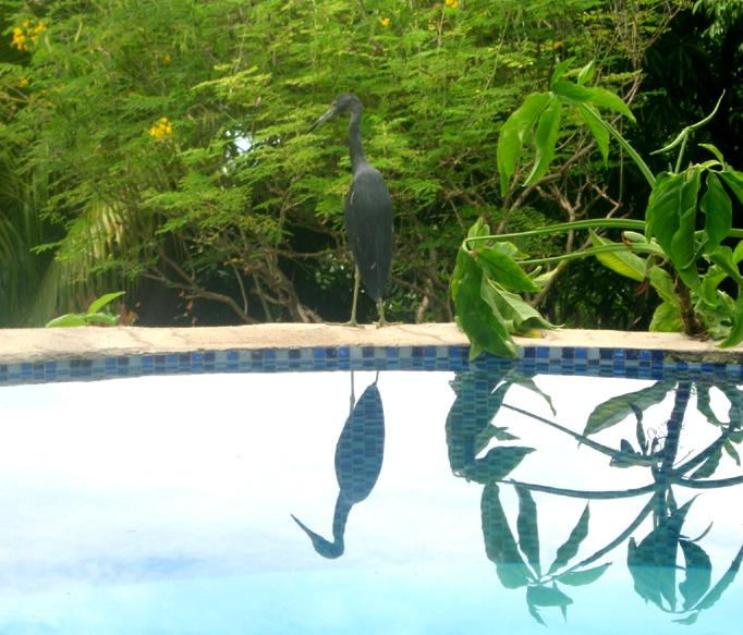 A local resident [egret] by the pool