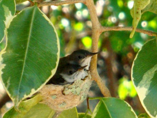 Nesting hummingbirds inches away from the pool deck [from 2013]