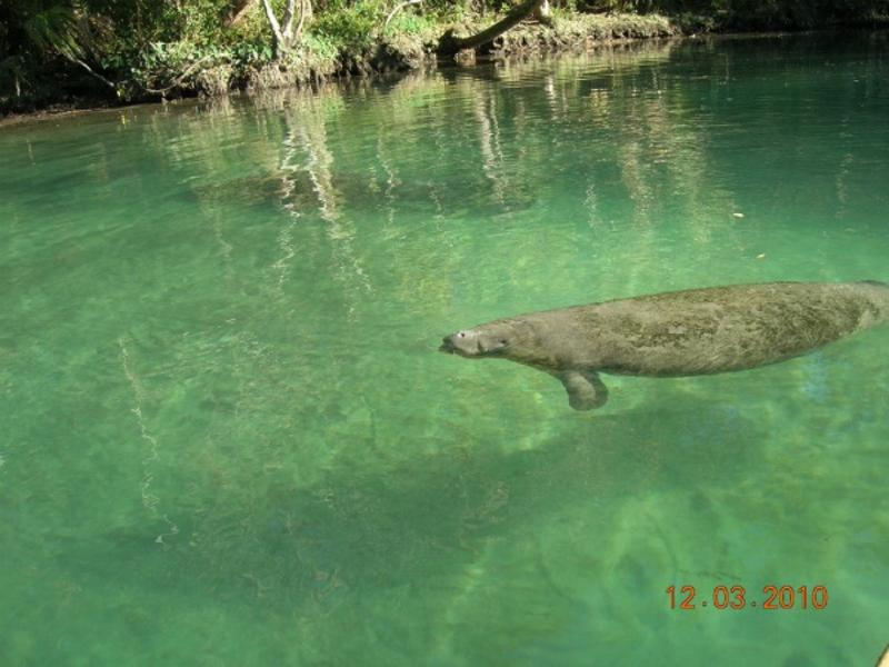Crystal clear Weeki Wachee River w/manatee frolicking. A natural environment & Old Florida scenery.