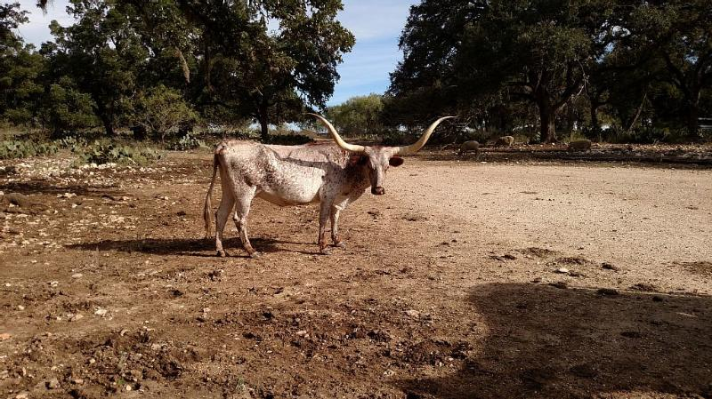 Texas Long Horns roaming free