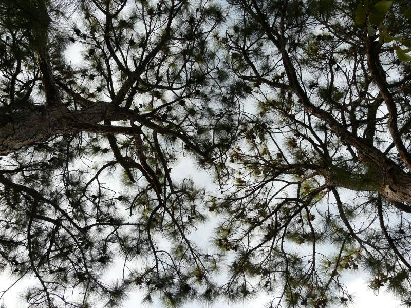 Slash Pine trees at the Treehouse