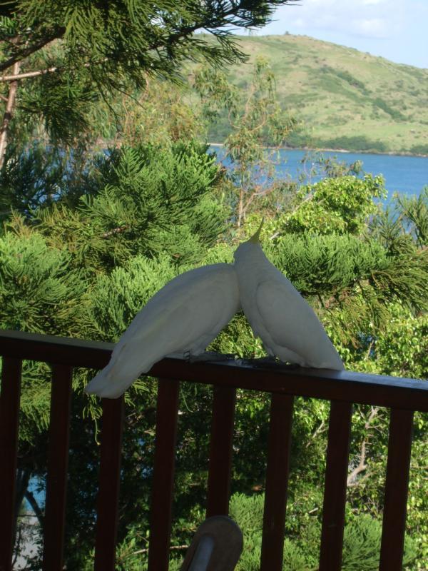 Meer kaketoes op het balkon.