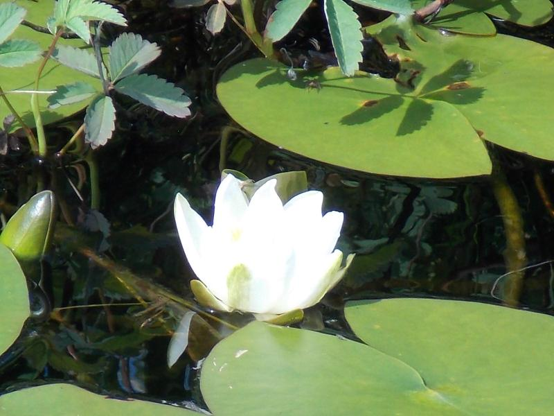 water lily in Harris