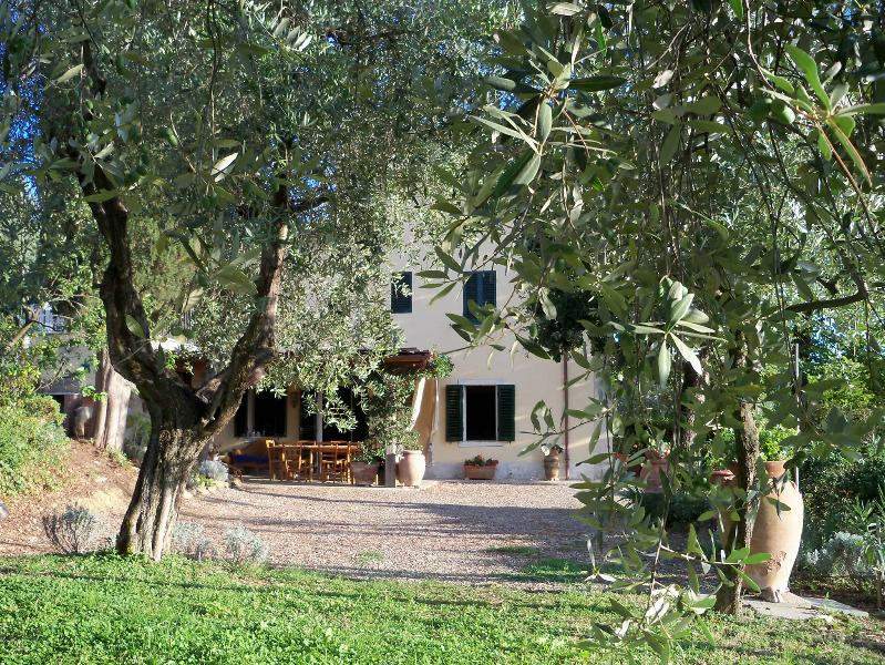The olive tree seen from the garden of olive trees.