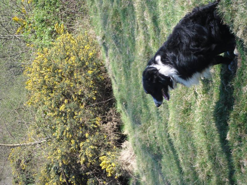 Our sheep dog over looking one of Fyfett farms county wildlife sites