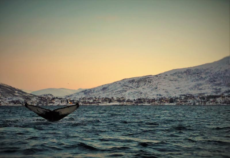 The majestic humpback wale in Ersfjorden. The Cabin in located just above thail finn :) January 3