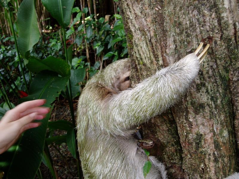 A 3-toed Sloth climbing a tree at the house