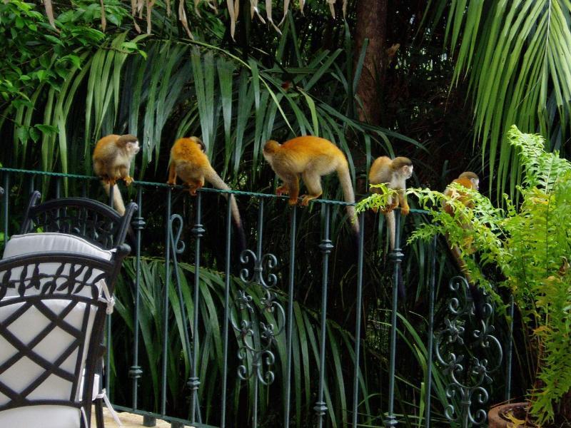 Mono titi monkeys at the pool