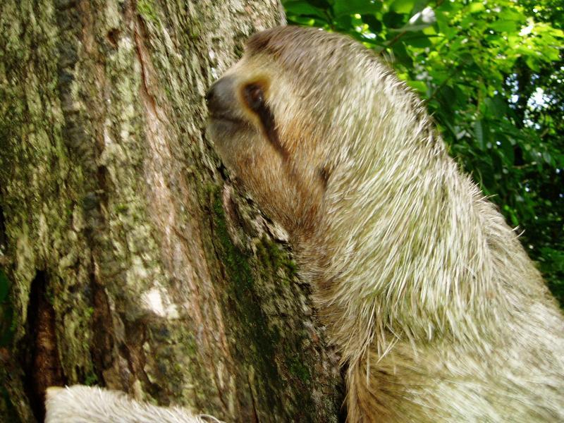 3-toed Sloth at house