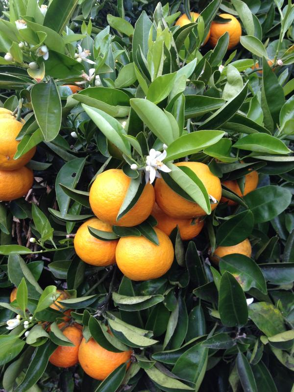 The Orange Grove provides for lots of fruit, help yourself