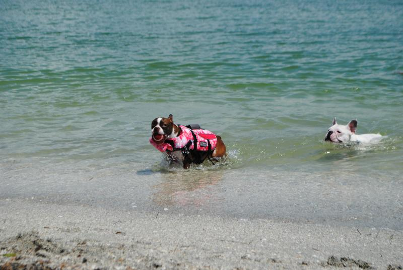 Florida dogs love to swim in the Gulf of Mexico