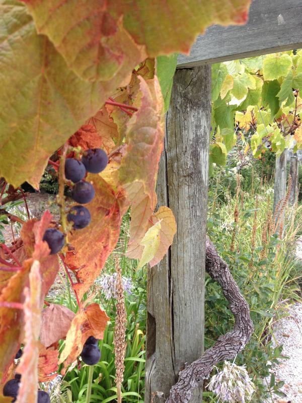 Uva in autunno