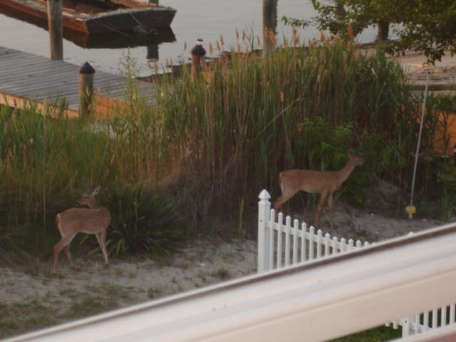 deers crossed the yard