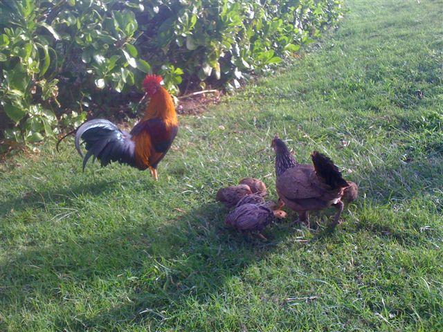 Real Hawaiian Free Range Chickens Everywhere