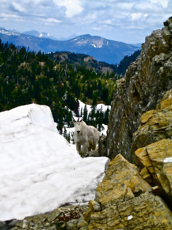 Goat on Mt. Aneas- Jewel Basin.
