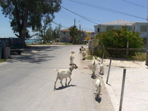 Bimini Goats