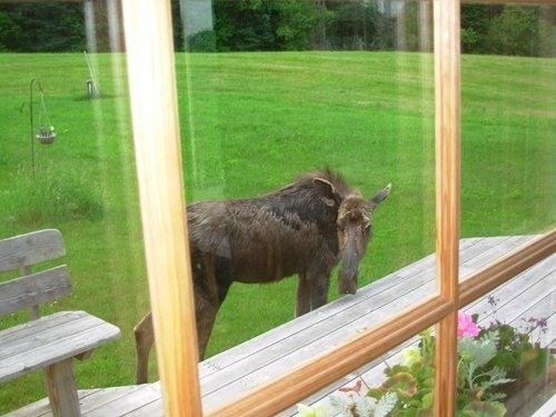 Outside the dining room; moose on the loose!
