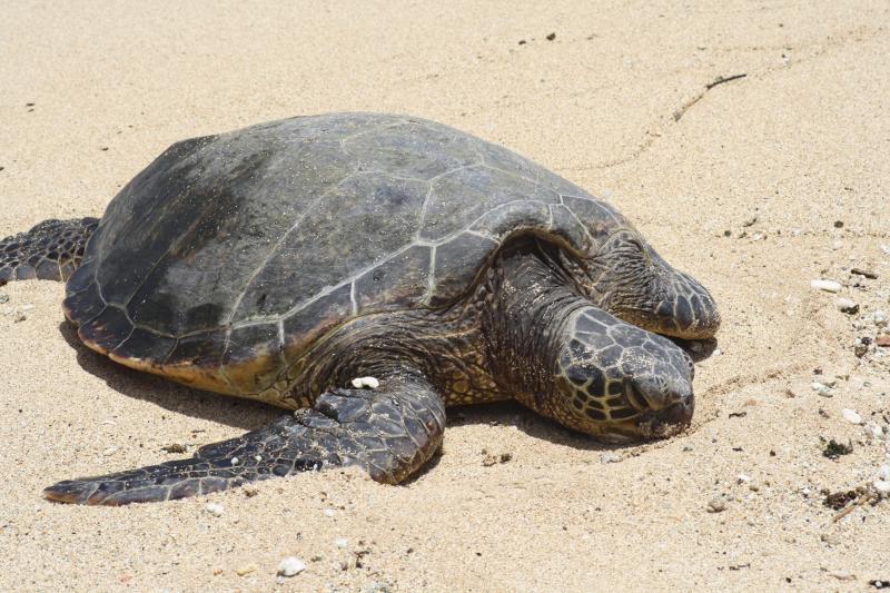 Turtle Resting on the Beach.
