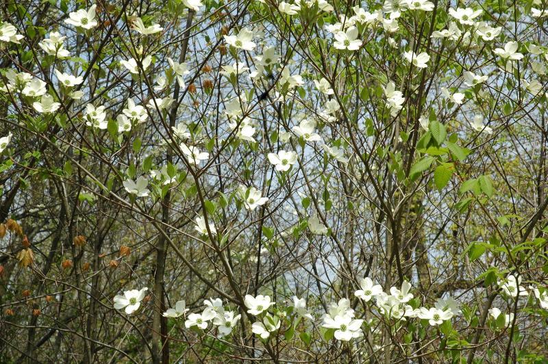 Flowering Dogwoods