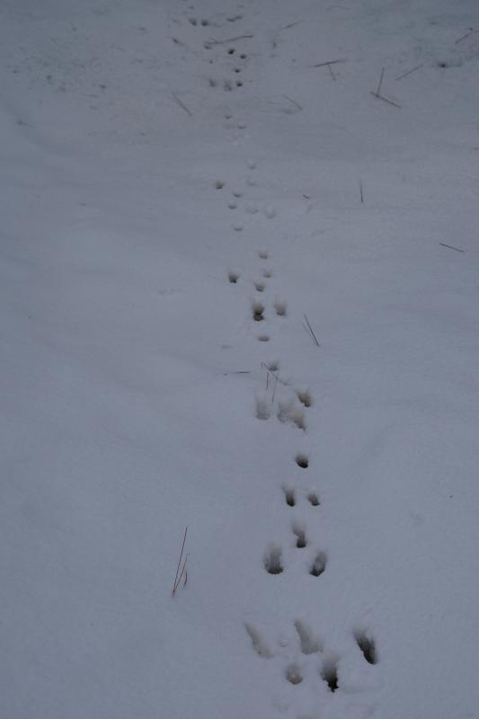 Deer Foot Prints in the Snow.