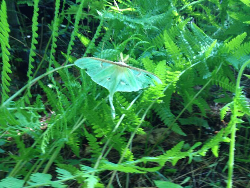Luna Moth-a Spring wonder