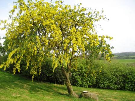 Laburnam tree in full golden candle mode with Stiperstone Ridge behind